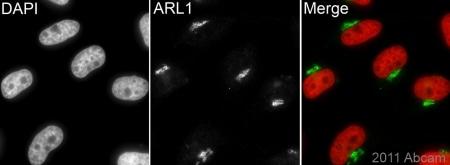 Immunocytochemistry/ Immunofluorescence - Anti-ARL1 antibody (ab76156)