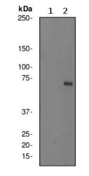 Western blot - Anti-KIF22 (phospho S427) antibody [EPR2728Y] (ab76182)