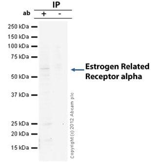 Immunoprecipitation - Anti-Estrogen Related Receptor alpha antibody [EPR46Y] (ab76228)