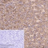 Immunohistochemistry (Formalin/PFA-fixed paraffin-embedded sections) - Anti-cAMP Protein Kinase Catalytic subunit antibody [EP2102Y] (ab76238)