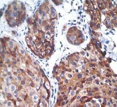 Immunohistochemistry (Formalin/PFA-fixed paraffin-embedded sections) - Anti-PTP1B (phospho S378) antibody [EP1840Y] (ab76239)