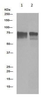 Western blot - Anti-YAP1 (phospho S127) antibody [EP1675Y] (ab76252)