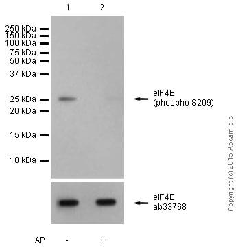 Western blot - Anti-eIF4E (phospho S209) antibody [EP2151Y] (ab76256)
