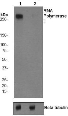 Western blot - Anti-RNA polymerase II CTD repeat YSPTSPS (phospho S5) antibody [EP1510Y] (ab76292)