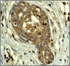 Immunohistochemistry (Formalin/PFA-fixed paraffin-embedded sections) - Anti-PAK2 antibody [EP796Y] (ab76293)