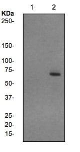 Western blot - Anti-NF-kB p65 (phospho S536) antibody [EP2294Y] (ab76302)