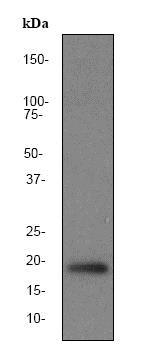 Western blot - Anti-Pin1 antibody [EP1479Y] (ab76309)