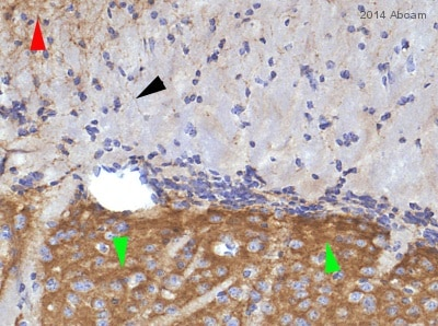 Immunohistochemistry (Formalin/PFA-fixed paraffin-embedded sections) - Anti-Metabotropic Glutamate Receptor 5 antibody [EPR2425Y] (ab76316)