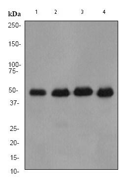 Western blot - Anti-IRF3 antibody [EP2419Y] (ab76409)