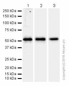 Western blot - Anti-TAB1 antibody [EPR635Y] (ab76412)