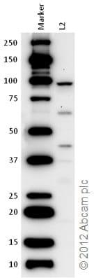 Western blot - Anti-AIM2 antibody (ab76423)