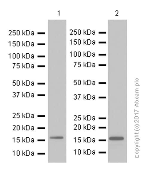 Western blot - Anti-Survivin antibody [EP2880Y] (ab76424)