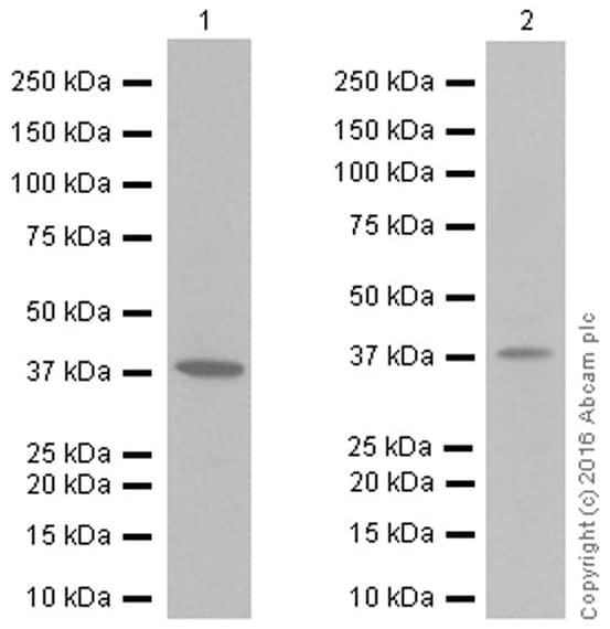 Western blot - Anti-IKB alpha antibody [EP697] (ab76429)