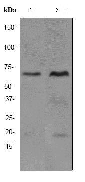 Western blot - Anti-SAM68 antibody [EPR3231] (ab76471)