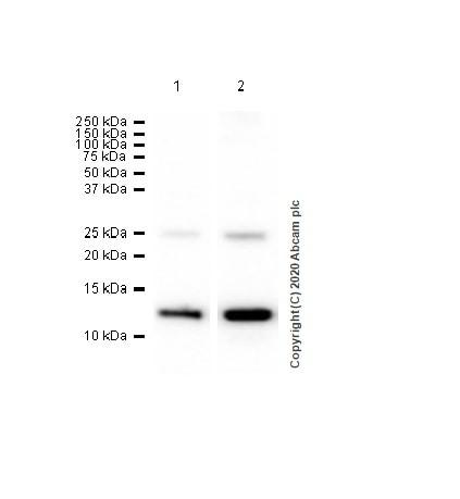 Western blot - Anti-S100A10 antibody [EPR3317] (ab76472)
