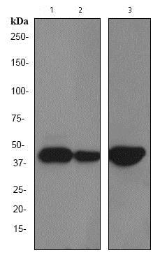 Western blot - Anti-Cytokeratin 19 antibody [EPR1579Y] (ab76539)