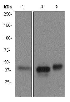Western blot - Anti-CDX2 antibody [EPR2764Y] (ab76541)