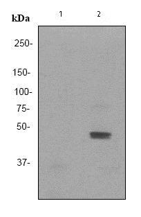 Western blot - Anti-JNK1+JNK2+JNK3 (phospho Y185 + Y185 + Y223) antibody [EP1597Y] (ab76572)