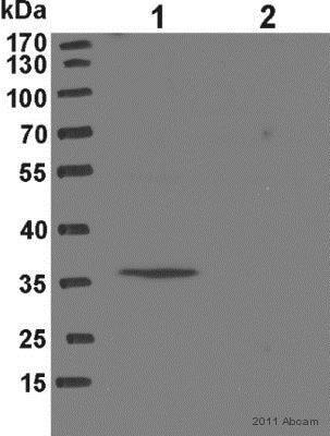 Western blot - Anti-NAT8L antibody (ab76842)