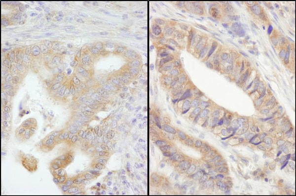 Immunohistochemistry (Formalin/PFA-fixed paraffin-embedded sections) - Anti-PTPN12 antibody (ab76942)