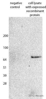 Western blot - Anti-Strep-tag II antibody (ab76949)