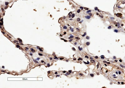 Immunohistochemistry paraffin embedded sections - Anti-HRH1/H1R antibody (ab77100)