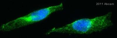 Immunocytochemistry/ Immunofluorescence - Anti-PICK1 antibody (ab77178)