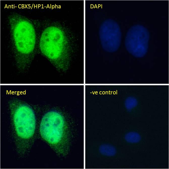 Immunocytochemistry/ Immunofluorescence - Anti-HP1 alpha antibody (ab77256)