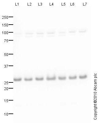 Western blot - Anti-eIF-6 antibody (ab77298)