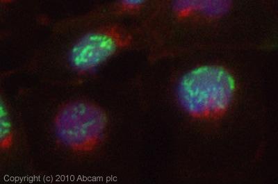 Immunocytochemistry/ Immunofluorescence - Anti-eIF-6 antibody (ab77298)
