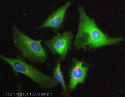 Immunocytochemistry/ Immunofluorescence - Anti-CSN8 antibody (ab77300)