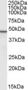 Western blot - Anti-Perilipin 3/TIP47 antibody (ab77365)