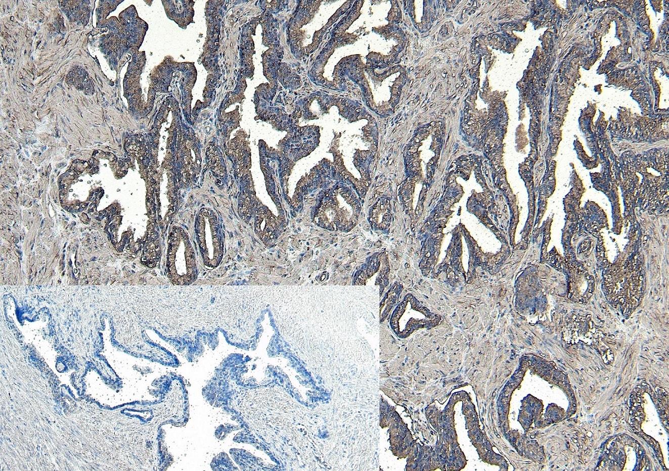 Immunohistochemistry (Formalin/PFA-fixed paraffin-embedded sections) - Anti-CEP290 antibody (ab77479)