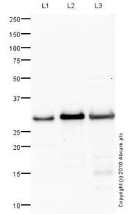 Western blot - Anti-PHOS antibody (ab77523)