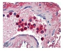 Immunohistochemistry (Formalin/PFA-fixed paraffin-embedded sections) - Anti-Lactoferrin antibody (ab77548)