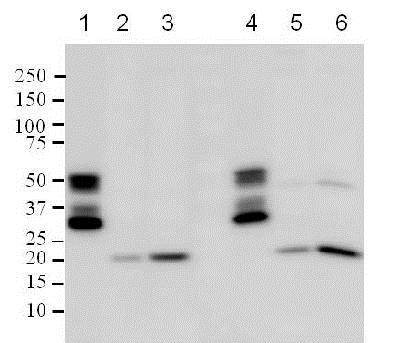 Western blot - Anti-Bax antibody [2D2] (ab77566)