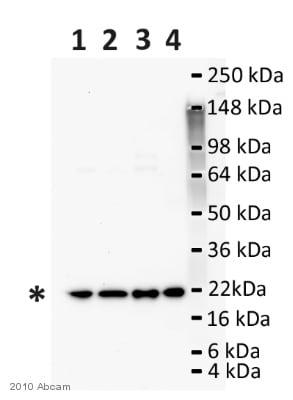 Western blot - Anti-ARF6 antibody (ab77581)