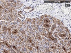 Immunohistochemistry (Formalin/PFA-fixed paraffin-embedded sections) - Anti-ARF6 antibody (ab77581)