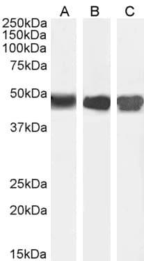 Western blot - Anti-ASS1 antibody (ab77590)