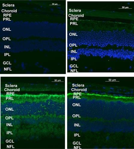 Immunohistochemistry (Frozen sections) - Anti-LYPLAL1 antibody (ab77640)