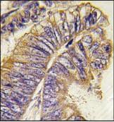 Immunohistochemistry (Formalin/PFA-fixed paraffin-embedded sections) - Anti-PHLPP2 antibody (ab77665)