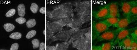 Immunocytochemistry/ Immunofluorescence - Anti-BRAP antibody (ab77721)