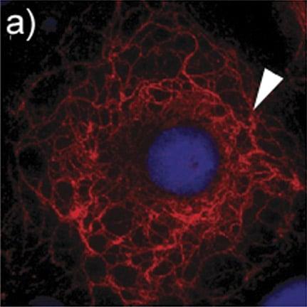 Immunocytochemistry/ Immunofluorescence - Anti-Cytokeratin 3/CK-3 antibody [AE5] (ab77869)