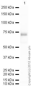 Western blot - Native human Alpha 2 Antiplasmin protein (ab77936)
