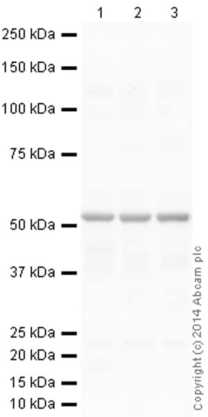 Western blot - Anti-beta III Tubulin antibody [2G10] - Neuronal Marker (ab78078)