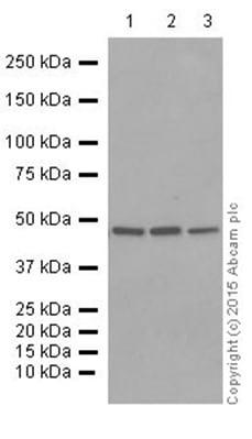 Western blot - Anti-Flotillin 1 antibody [EP446Y] (ab78178)