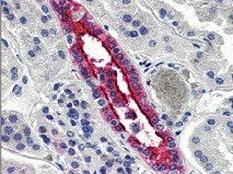 Immunohistochemistry (Formalin/PFA-fixed paraffin-embedded sections) - Anti-Aquaporin 2 antibody (ab78230)