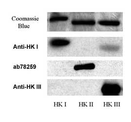 Western blot - Anti-Hexokinase II antibody (ab78259)