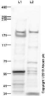 Western blot - Anti-LTBP1 antibody (ab78294)