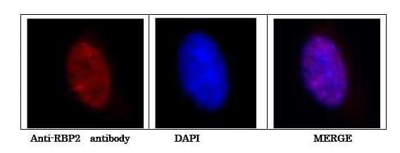 Immunocytochemistry/ Immunofluorescence - Anti-KDM5A / Jarid1A / RBBP2 antibody [18E8] (ab78322)
